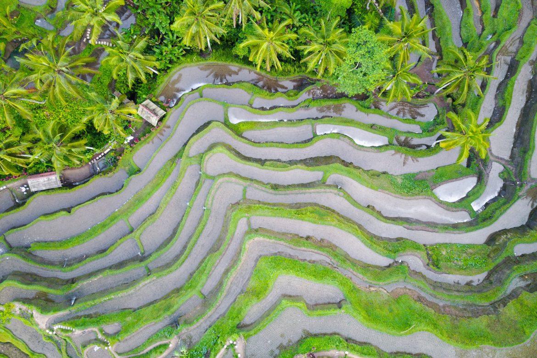 Grüne Reis Terrassen auf Bali.