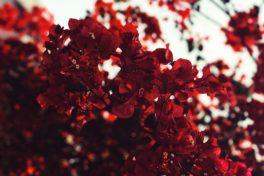 Strauch mit Roten Blüten.