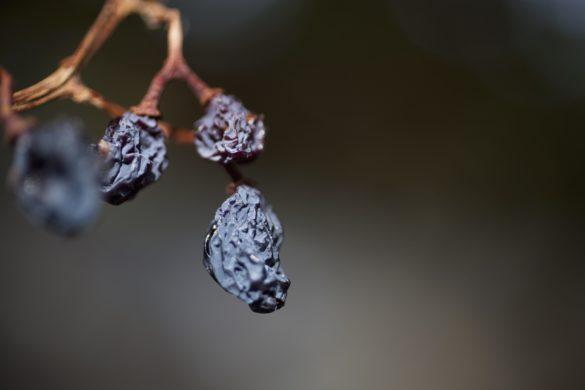 Ausgetrocknete Trauben an einem Zweig