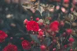 Rote Rosen Busch