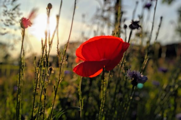Roter Mohn im Feld