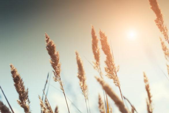 Gras Getreide Sonne