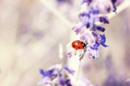 Marienkäfer violett Blume