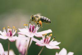 eine Biene auf Blüte