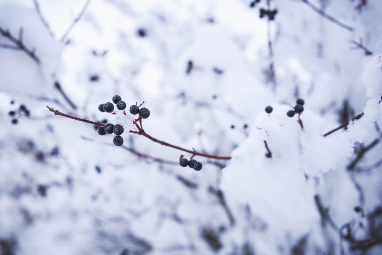 Blaue Beeren am Strauch mit Schnee bedeckt.