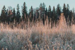 Eine Wiese mit hohen Gräsern und Wald im Hintergrund.