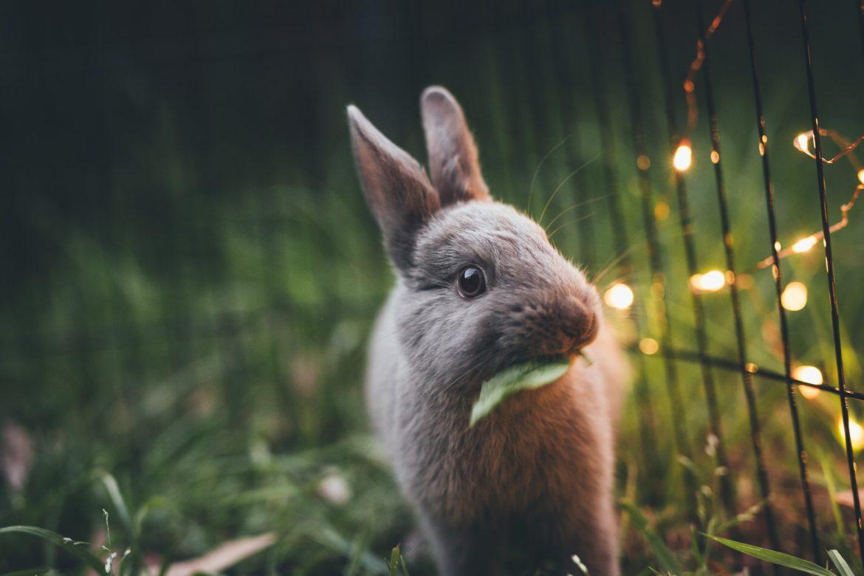 Zwerkaninchen mit einem Blatt im Maul im Gras mit Lichterkette.