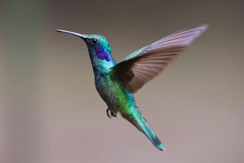 Fliegender Kolibri - Schilddrüsenüberfunktion - Ständig auf 180?