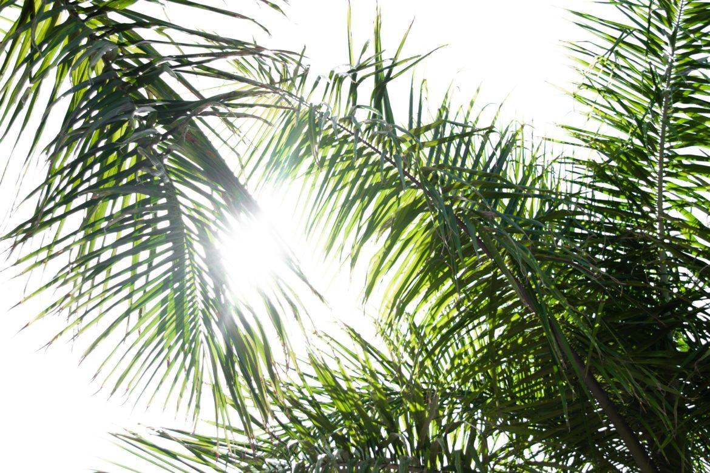 Palmenblätter in der Sonne