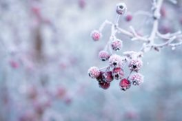 Frost auf Frucht