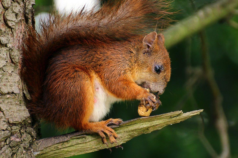Eichhörnchen auf Ast mit Nuss