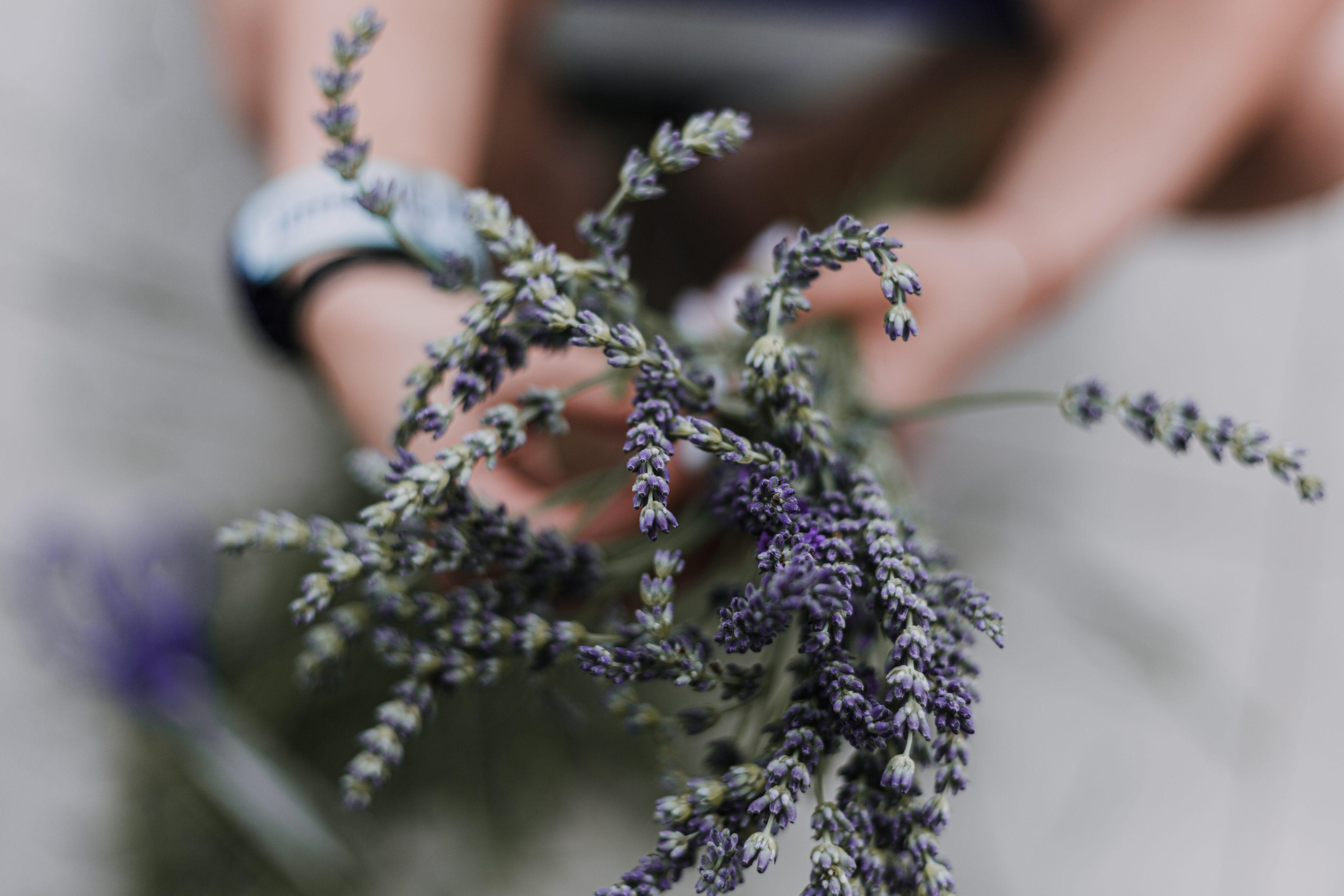 Frau hält Lavendelstrauss in den Händen