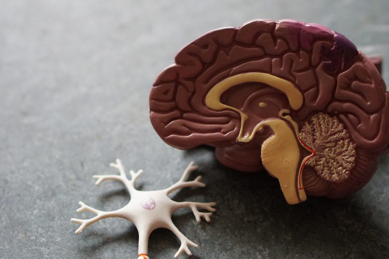 Modell Gehirn